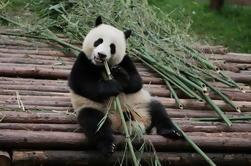 Tour de medio día en la base de investigación de Chengdu Panda Breeding