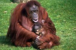 Excursão de meio dia Semenggoh Orangutan Center de Kuching