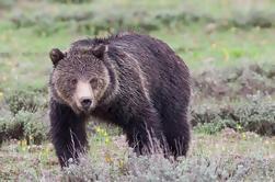 Half-Day Wildlife Safari desde Jackson Hole