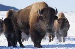 Privado Mejor de Jackson Hole Winter Wildlife Safari