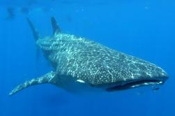 Excursión privada al encuentro de tiburones ballena