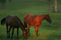 Passeio de cavalos de puro-sangue em Kentucky