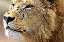 Lion Park Safari Excursão de um dia guiada de Durban