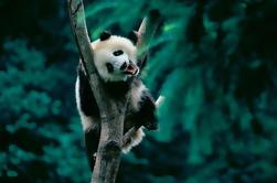 Tour de día: Chengdu Panda Breeding Base y Leshan Giant Buddha