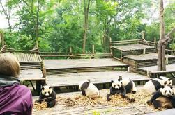 Chengdu destaca la gira de un día para grupos pequeños de la Base de Investigación de Panda y el Buda Gigante de Leshan