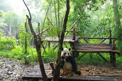 Excursión de un día privado: Centro de Cría de Panda Gigante de Chengdu y Buda Gigante de Leshan