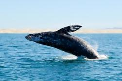 Majestic Whale Watching Adventure desde Los Cabos