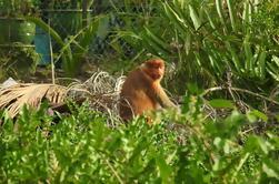 Proboscis Monkey River Safari