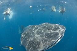 Aventura de buceo con tiburón ballena en Isla Contoy