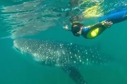 Nadar con tiburones ballena en La Paz