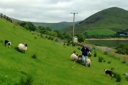 Hill Sheep Farming y Sheepdog Trialling Experiencia en Galway