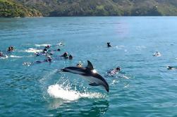 Tour ecológico de Dolphin de medio día desde Picton