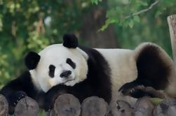 Tour Privado: Voluntario por un Día en el Centro de Rescate Panda de Dujiangyan de Chengdu