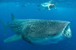 Nadar con tiburones ballena en Cancún