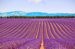 Small-Group Lavender Day Trip from Avignon