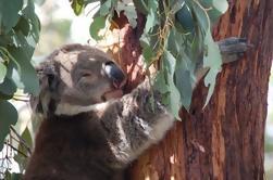 Phillip Island 3 Park Pass: Desfile de pingüinos, Koala Conservation Center y Churchill Island Heritage Farm