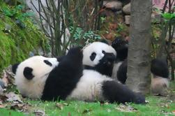 Voluntario en la Base de Panda de Dujiangyan con Alimentación de Panda Incluyendo Almuerzo Buffet