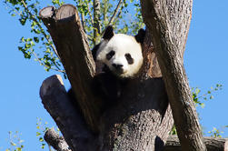 Chengdu Private Tour Of Giant Panda Breeding And Research Base and City Highlights With Lunch