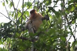 Excursión de tres horas a los pequeños grupos en el río Safari y Brunei Proboscis Monkey