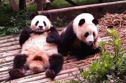 Tour Privado: Base de Chengdu Panda y Leshan Grand Buddha