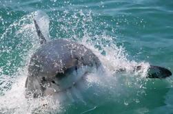 Cage Mergulho com grandes tubarões brancos de Cape Town