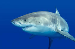 Private Tour: Cage Dive com grandes tubarões brancos