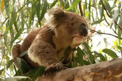 Tour privado: Phillip Island, desfile de pingüinos y Koala Conservation Center de Melbourne