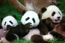 Chengdu en Un día desde Shanghai por aire: pandas y historias