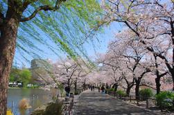 Excursión a pie de Cherry Blossom en Asakusa
