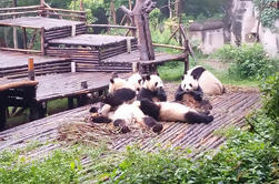 Base privada de Panda gigante de Chengdu y viaje gigante del Buda de Leshan por el tren de alta velocidad