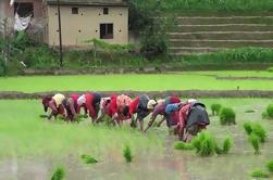 Experiencia en Plantación de Arroz en Bhaktapur