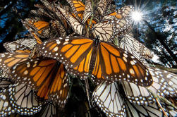 Monarch Butterfly Sanctuary Day Tour van Mexico C